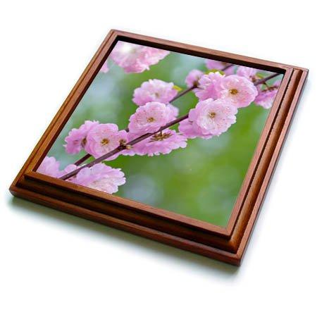 3dRose Alexis Photography - Flowers Prunus Triloba - Prunus triloba blossoms - Pink tender flowers on green - 8x8 Trivet with 6x6 ceramic tile trv_272969_1